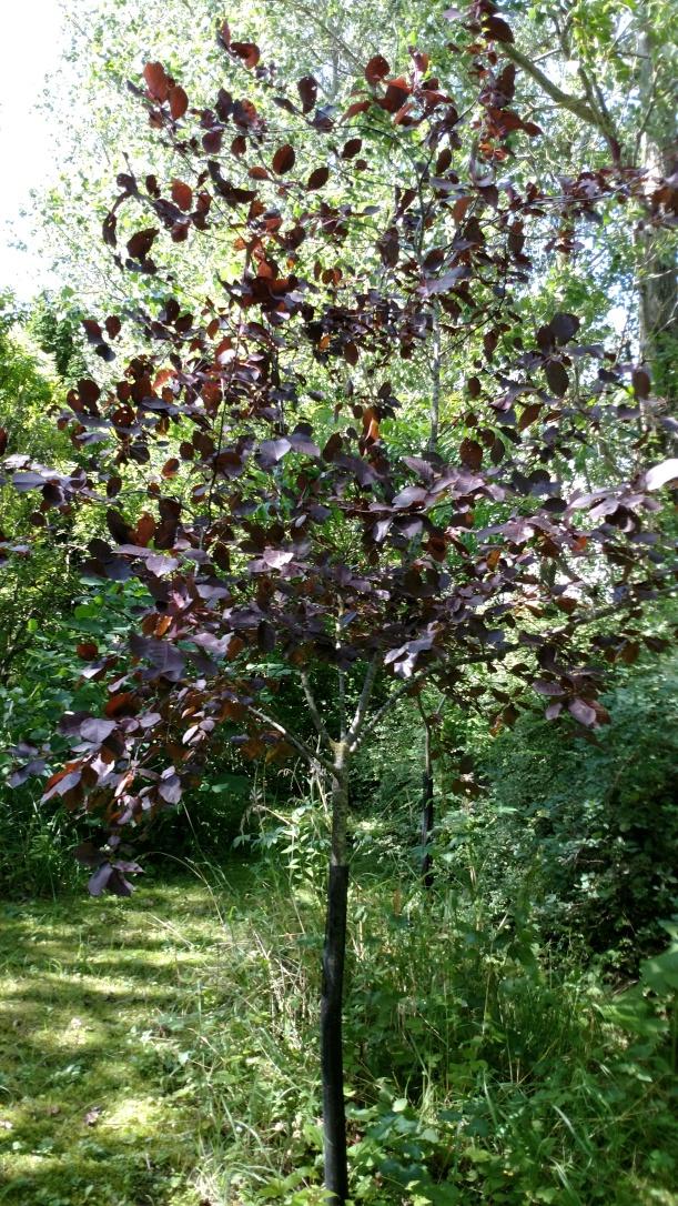 Prunus viriginiana 'Schubert', rödbladig hägg, augusti 2017