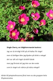 Single Cherrys mingel