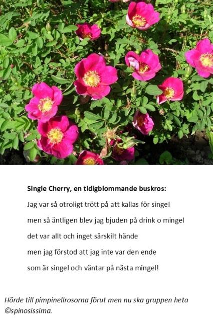 Single Cherrys mingel