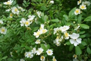 Multiflora japonica, närbild
