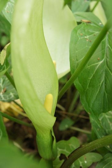 Arum italicum, italiensk munkhätta, är en gåva från en gammal trädgårdsvän.