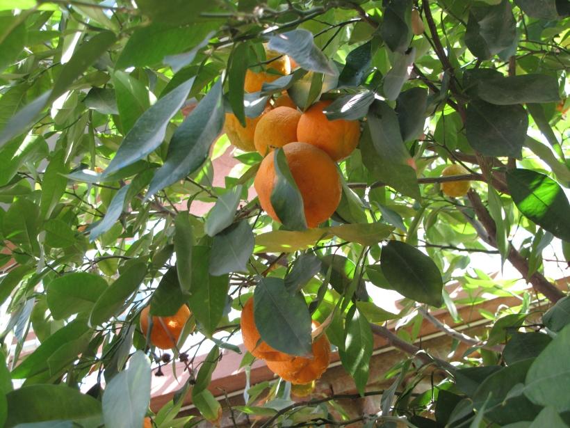 HC Apelsinträd