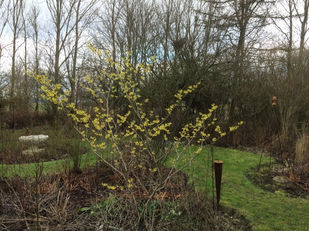 Trollhasseln blommar Feb -16