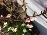 Aprikos blom