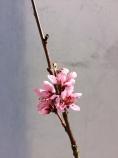 Persiko blom