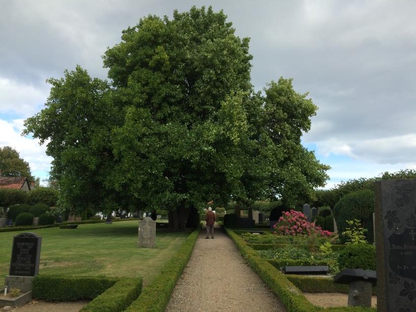 Gladsax kyrkogård Identefiering av träd (3)