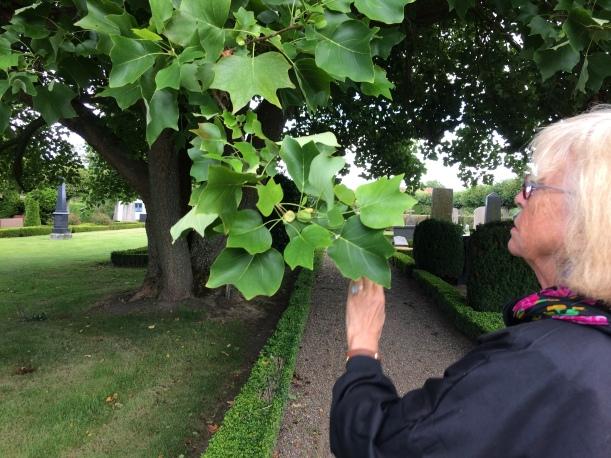 Gladsax kyrkogård Identefiering av träd (37)