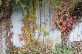 Parthenocissus quinquefolia var. engelmanni