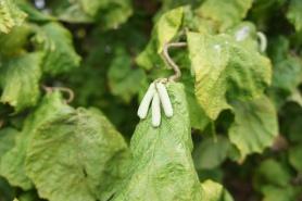 Corylus avellana 'Contorta' , ormhassel