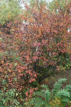 Cotoneaster, oxbär