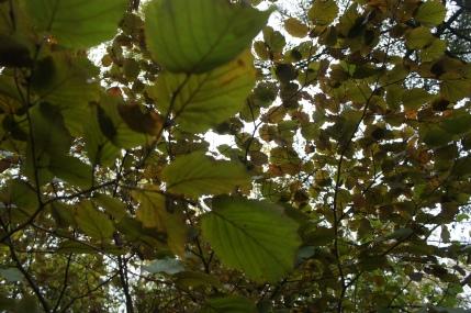 Corylus maxima 'Pupurea' tappar färgen på sensommar o höstSONY DSC