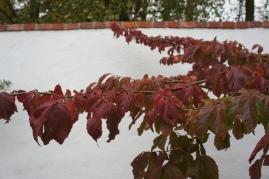 Parrotia persica 'Vanessa. stamform