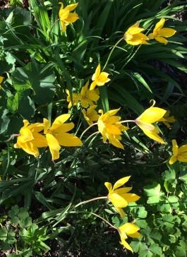 1Tulipa Sylvestris fina kronblad