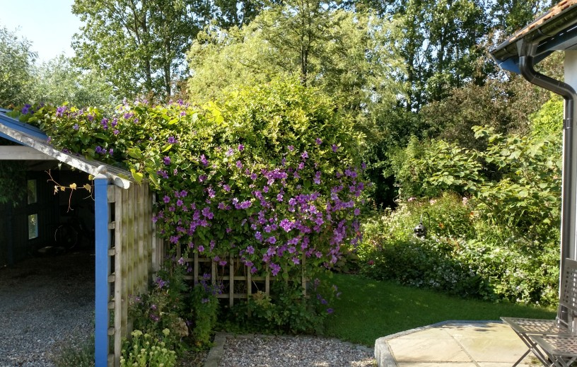 Blommande clematis mm 7 aug