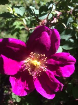 Enkelblommande rosaröd