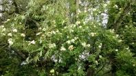 Rosor 20170705 Honungsrosen Helena Hybrida