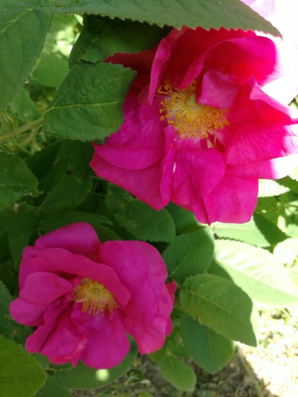 20180604 Rosa Officinalis