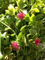Aptenia cordifolia, hjärtreva