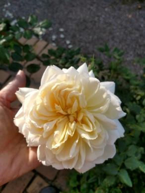 Crocus Rose från Austin