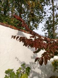 20180920_Parrotia persica höstfärg