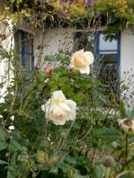 20181009 Crocus Rose