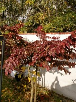 20181009 Parrotia persica höstfärg
