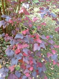 20181009 Physocarpus höstfärg