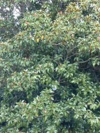 20181021 Magnolia grandiflora 1