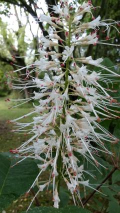 en sorts buskkastanj första blomman