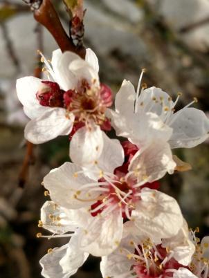 20190411 Aprikosen blommar