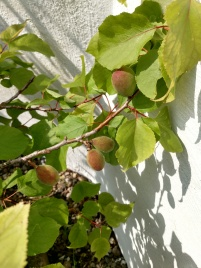 20190601 aprikoser i år